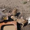 Schweinische Adoption